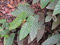 Begonia maculata Madagascar-01.jpg
