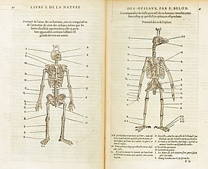 Pierre Belon - A comparison of the skeleton of birds and man in Natural History of Birds, 1555