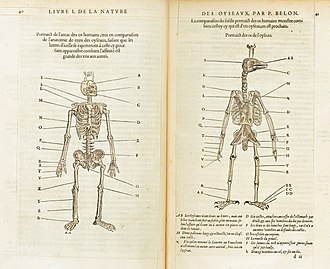 Comparative anatomy - Skeletons of humans and birds compared by Pierre Belon, 1555.