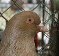 Benesov Pigeon head 2.jpg