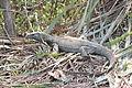 Bengal Monitor Lizard.JPG