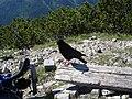 Bergdohle - panoramio.jpg