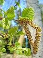 Betula pendula inflorescence.jpg