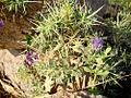 Bhoringani (Herb).jpg