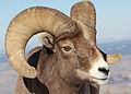 Bighorn Ram Lostine 7 myatt odfw (7591213412).jpg
