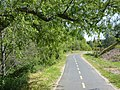 Bike trail overhanging willow and newly-planted oaks - panoramio.jpg
