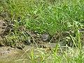 Bird Plumbeous Redstart DSCN9018 25.jpg