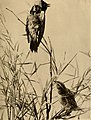 Bird studies; an account of the land birds of eastern North America (1898) (14732652356).jpg