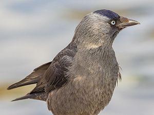 Western jackdaw - Juvenile