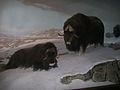 Bison~~11-29-09.JPG