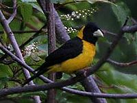 Black-&-Yellow Grosbeak (Male) I IMG 7362 - Cropped