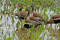 Black-bellied Whistling Ducks (Dendrocygna autumnalis) (28873296032).jpg