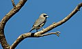 Black-faced Woodswallow (Artamus cinereus) (31376570556).jpg