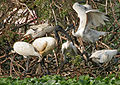 Black-headed Ibis (Threskiornis melanocephalus) with juveniles at Garapadu, AP W IMG 5228.jpg
