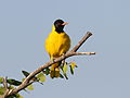 Black-headed oriole, Oriolus larvatus, at Mapungubwe National Park, Limpopo, South Africa (18202558981).jpg