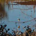 Black-winged stilt pond near Burke River Boulia Queensland P1030826.jpg