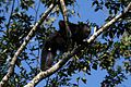 Black Howler Monkey (3328328649).jpg