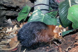 Black and rufous giant elephant-shrew (Rhynchocyon petersi).jpg