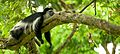 Black and white colobus monkey (13945312952).jpg