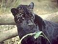 Black jaguar.jpg