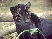 A melanistic form of jaguar.