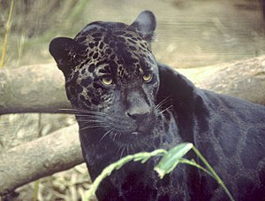 Polymorphism (biology) - Dark-morph or melanistic jaguar (about 6% of the South American population)