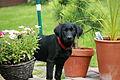 Black labrador puppy (2754879486).jpg
