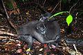Black macaques (8386351401).jpg