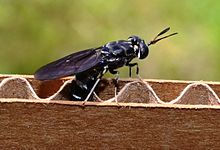 how to raise black soldier fly larvae