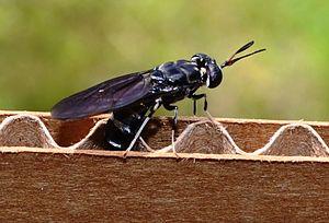 Hermetia illucens - Black soldier fly depositing eggs in cardboard