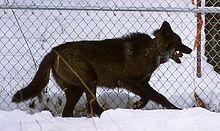 Wolfdog - Wikipedia