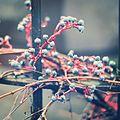 Blaue Beeren im Regen.jpg