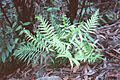Blechnum cartilagineum 01.jpg