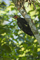 Blond-crested Woodpecker - Intervales NP - Brazil S4E0435 (12900165995).jpg