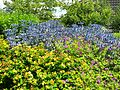 Blooms of Bressingham trial garden.jpg