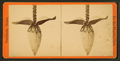 Blossom from the banana tree, from Robert N. Dennis collection of stereoscopic views 2.png