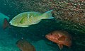 Blue-barred Parrotfish (Scarus ghobban) and Mangrove Red Snappers (Lutjanus argentimaculatus) (8503149400).jpg