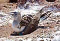 Blue-footed booby (47945213066).jpg