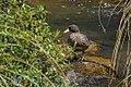 Blue Duck - New Zealand (38299755255).jpg