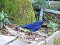 Blue Whistling-thrush, Doi Inthanon, Ching Mai, Thailand.jpg