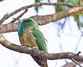 Blue bearded Bee eater.jpg