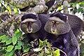 Blue monkey (Cercopithecus mitis stuhlmanni) pair.jpg