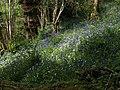 Bluebells in Woodcock Wood (3) - geograph.org.uk - 1292373.jpg