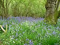 Bluebells in woodland on Helmeth Hill in mid May - geograph.org.uk - 1866097.jpg