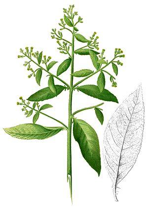 Blumea balsamifera Blanco2.403-cropped.jpg