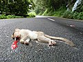 Bonnet macaque roadkill IMG20170921100106.jpg