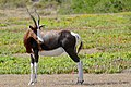 Bontebok (Damaliscus pygargus) (50061450516).jpg