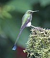 Booted racket-tail (32885150167).jpg