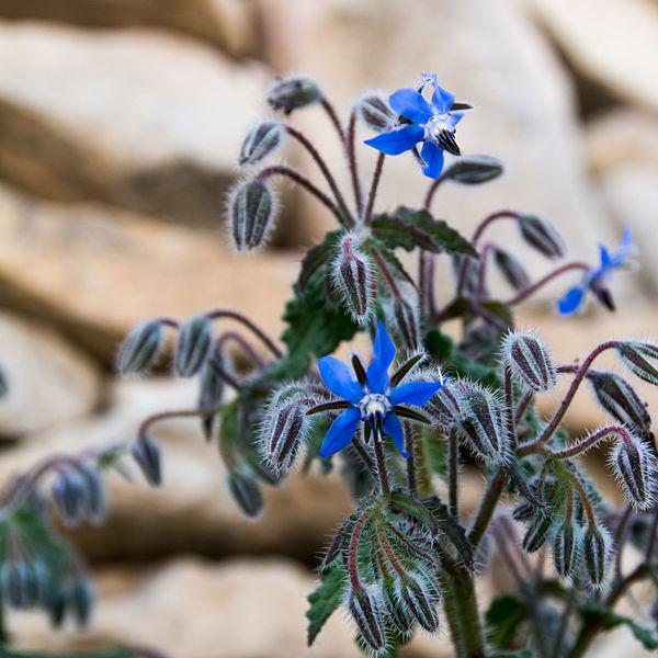 File:Borago officinalis-Bourrache-Fleurs-20150415.jpg