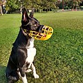 Border Collie named Morango wearing a muzzle.jpg